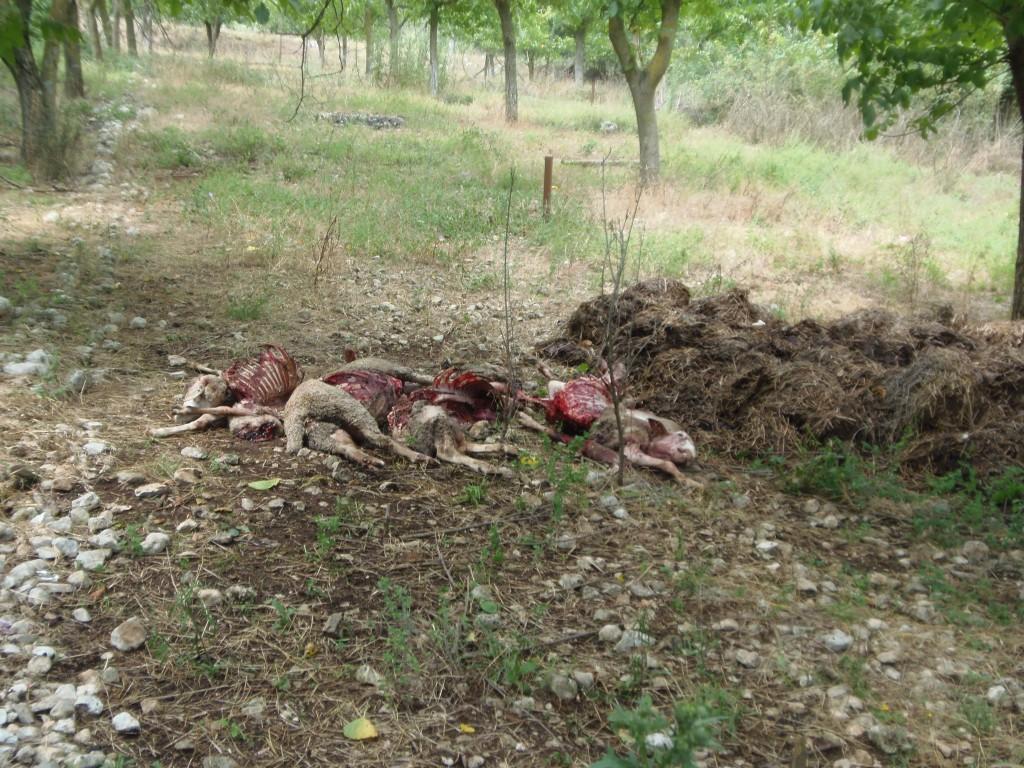 Branco di lupi fa strage di pecore a Pozzilli