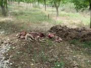 pecore-sbranate-lupi-pozzilli.jpg