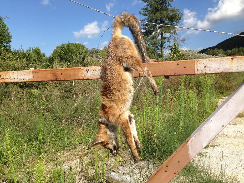 Pozzilli, ritrovata una volpe morta