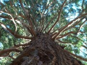 sequoia-gigante.jpg