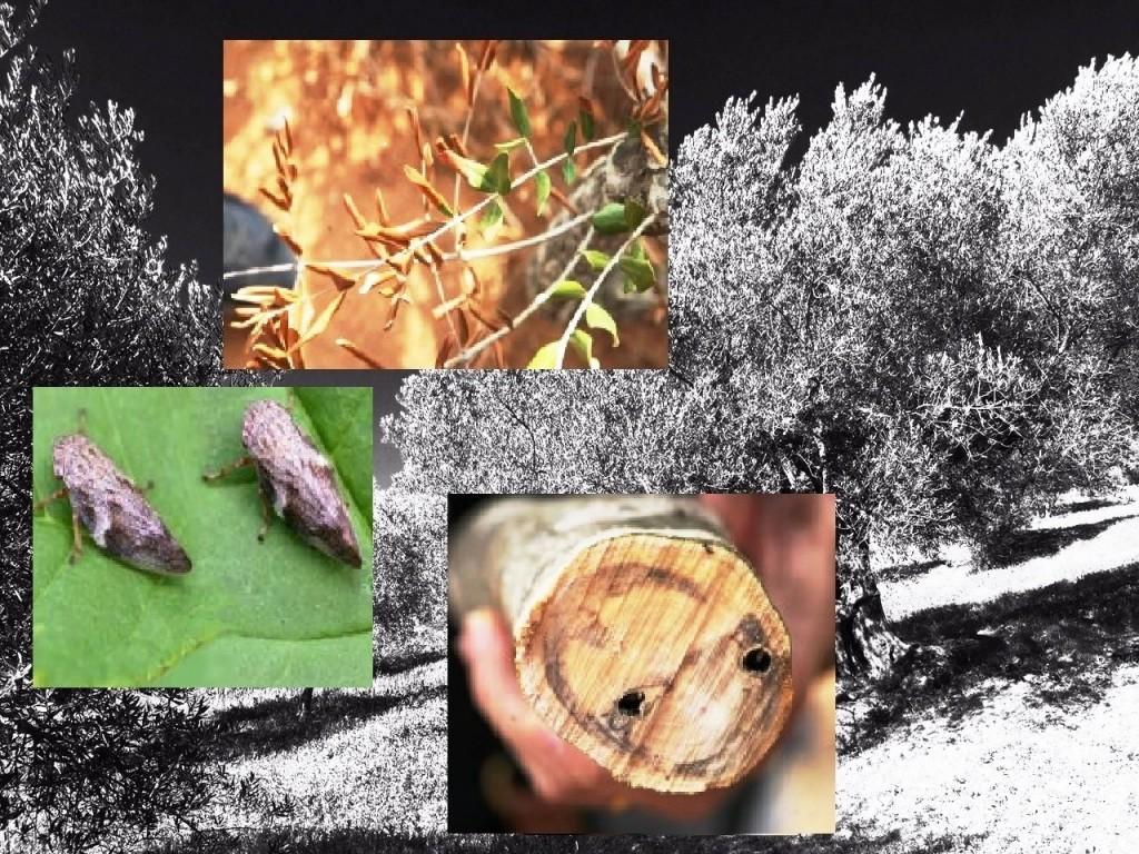 Olivicoltura, la Coldiretti Molise lancia l'allarme 'Xjlella fastidiosa'