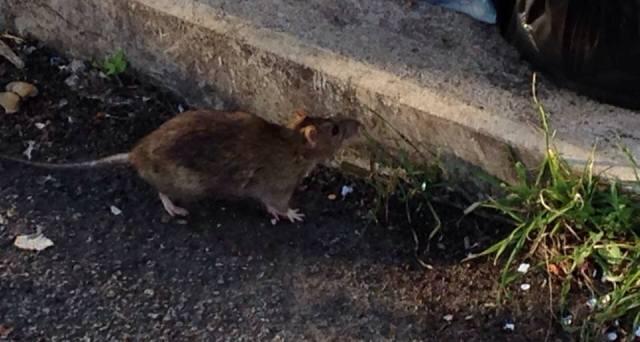 Ratti e cani randagi, nuovo allarme dei cittadini