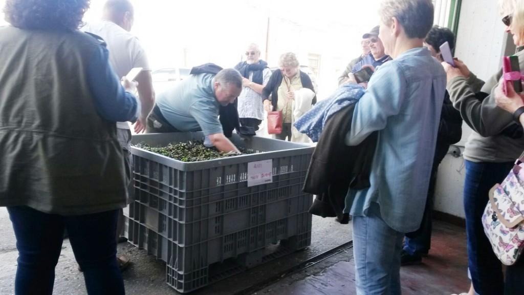 Alla scoperta delle tradizioni, sedici inglesi assistono alla raccolta e alla molitura delle olive a Colletorto
