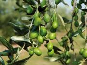 olivicoltura021.jpg