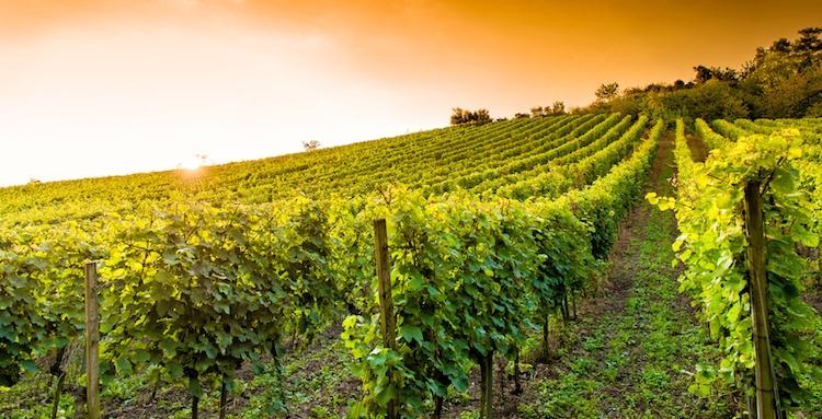 Nuovi impianti vitivinicoli, c'è la graduatoria