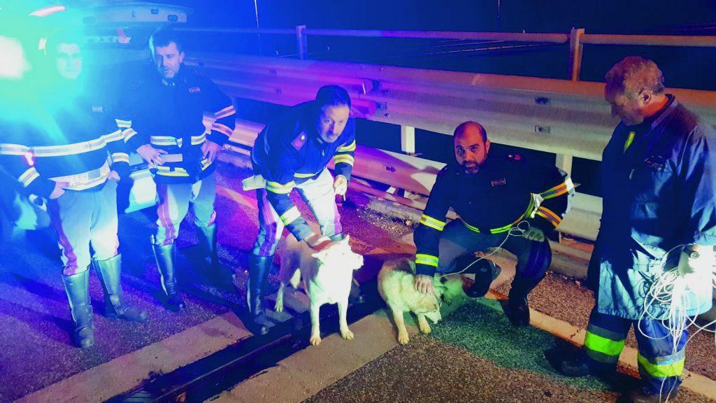 Due husky a spasso sulla statale 85 salvati dalla Polizia di Isernia