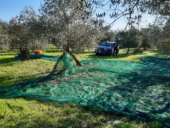 Venafro, migranti sfruttati per raccogliere le olive: caporale denunciato